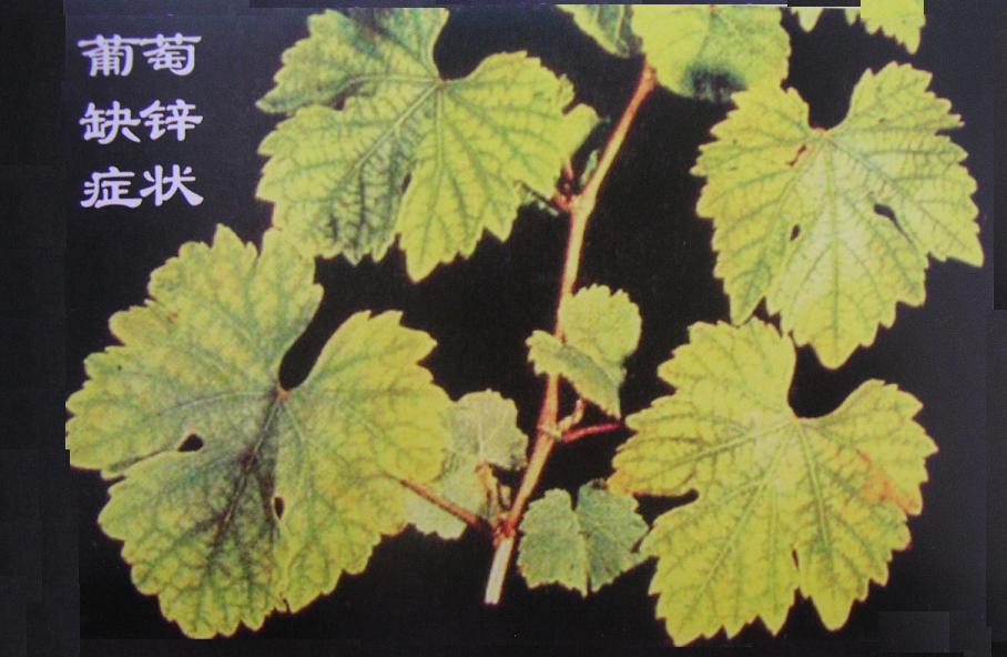 葡萄营养失调症.2-塔里木大学植物科学学院欢迎您!