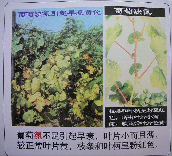 葡萄营养失调症.1-塔里木大学植物科学学院欢迎您!